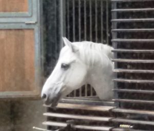 Lipizzaner, Spanish Riding School Vienna